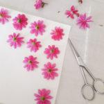 Récolte de fleurs Lewisia